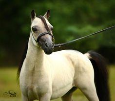 American Miniature Horse stallion Little Kings Electro Buck