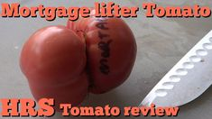 ⟹ Mortgage Lifter Tomato, Solanum lycopersicum, Tomato Review 2018 Buy Seeds, Pepper Plants, Permaculture, Tomatoes, Gardening, Stuffed Peppers, Lawn And Garden, Stuffed Pepper