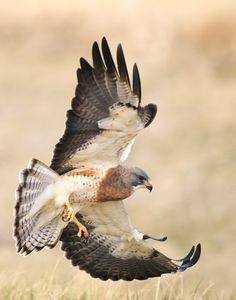 Swainson's Hawk (Buteo swainsoni), is a large Buteo hawk of the Falconiformes, sometimes separated in the Accipitriformes like its relatives.Their breeding habitat is prairie and dry grasslands in western North America. They build a stick nest in a tree or shrub or on a cliff edge. This species is a long-distance migrant, wintering in Argentina.