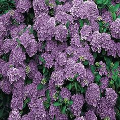 Purple Passion Hydrangea - Full sun to full shade - Grows 3'-5' tall
