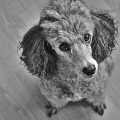 Dog Secrets: The Fastest Way To Your Dream Poodle! - poodle #poodle