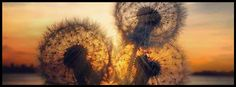 dandelion, dandelions, 3 wishes, sunset  - facebook cover photo, fb covers
