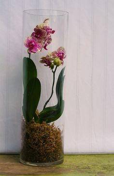 Costa Farms: Orchid Terrarium ~ Need a tall cylindrical clear-glass vase, pebbles, moss, and an orchid. Pour in a layer of pebbles a couple of inches deep, then place a layer of moss to nest your orchid into. Tip: Moisten the moss before placing it in the Orchid Flower Arrangements, Orchid Vase, Flower Vases, Flower Pots, Peonies Centerpiece, Decor Terrarium, Orchid Terrarium, Orchid Planters, Terrarium Ideas