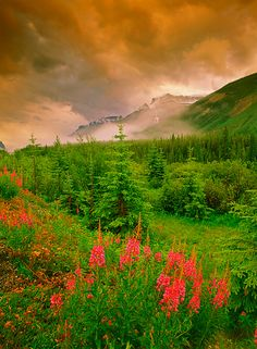 Fireweed and mist along the Icefields Parkway, Banff National Park, Alberta, Canada Beautiful Places In The World, Beautiful Places To Visit, Places Around The World, Around The Worlds, Banff National Park, National Parks, Felder, Mountain Landscape, Beautiful Sunset