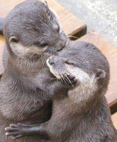 Otters hug.