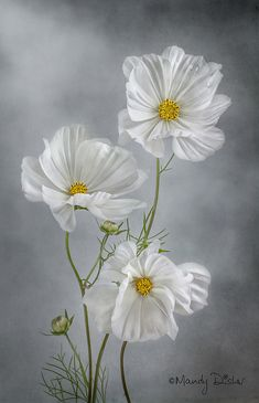 pictures of exotic flowers and butterflies Cosmos Flowers, Flowers Nature, Exotic Flowers, Amazing Flowers, White Flowers, Beautiful Flowers, Exotic Plants, Tropical Flowers, Watercolor Flowers