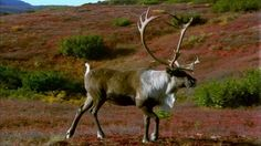Denali National Park, Caribou (Animal), Stag, Tundra, Male (Animal), Hill, Bush, Alaska, Autumn, No People, Sunshine, Day, Stock Footage,