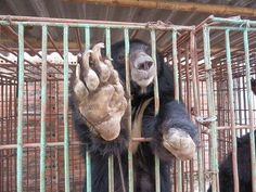 """<h3><a href=""""https://my.animalsasia.org/page.redir?target=https%3a%2f%2fwww.animalsasia.org%2fus%2fmedia%2fnews%2fnews-archive%2fbreaking-halong-bay-bears-set-for-rescue.html&srcid=26029&srctid=1&erid=2741423&efndnum=000004352369&trid=4aeb07a2-4d7e-4b9f-bf5b-f5d9ce76558b"""">Animal Asia</a></h3><h3>From Dr Tuan Bendixsen Vietnam Director<br></h3><div><br></div><p><em><u><strong>MBEGreat news! We have the go-ahead to rescue the bears on bile farms at Vietnam's Halong Bay – thanks to thousands of…"""