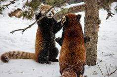theicekingdom:  Panda greeting by poormommy on Flickr.