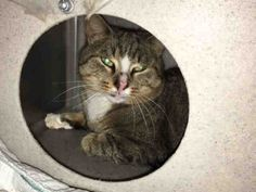 TURNIP - A1097310 - - Brooklyn  Please Share:***TO BE DESTROYED 11/23/16***  TURNIP NEEDS A CAT WHISPERER TO BE HIS HERO TONIGHT!  PLEASE GIVE THIS 2 YR OLD BOY A CHANCE! -  Click for info & Current Status: http://nyccats.urgentpodr.org/turnip-a1097310/