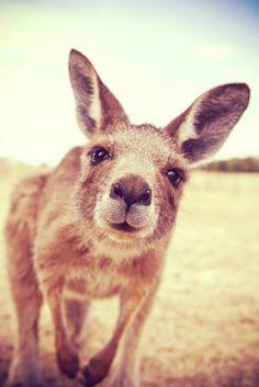 Australia Animals Baby Koala - Queensland Australia Homes - Perth Australia Architecture - - Cairns Australia Hotel - The Animals, My Animal, Baby Animals, Funny Animals, Young Animal, Strange Animals, Large Animals, Nature Animals, Cute Creatures