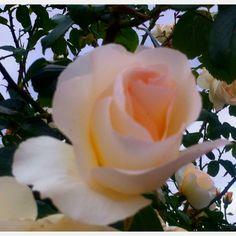 Rosa Blanca ---> mi favorita