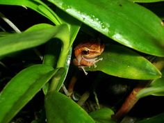 The coqui is a magical little frog that rarely survives if taken out of Puerto Rico, and you love him because he's named after the mating call he makes: coqui , coqui . | 35 Things Puerto Ricans Know To Be True