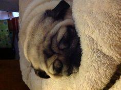 Sleepy pug!