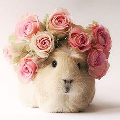 #happyfriday! Here is a pic of a flowery guinea pig  #flowerfriday #guineapig #guineapigsofinstagram #roses #weddingflowers