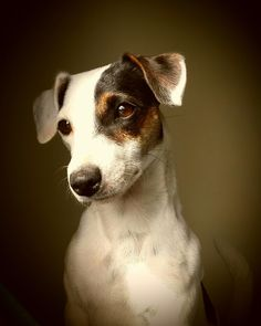 """Jack Russell Terrier / """"Just take the picture, already. Rat Terriers, Terrier Dogs, Terrier Mix, Cute Dogs And Puppies, I Love Dogs, Doggies, Maltese Puppies, Chihuahua Dogs, Pet Dogs"""
