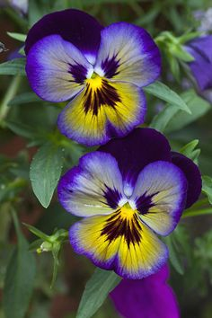 FRONT - TO RIGHT OF STAIRS (see sketch for more information) Love em - garden stalwart -  to spill out of pots or sprinkled around the plantings.  They self sow nicely Pansies ~ Me N You, by James Roemmling*