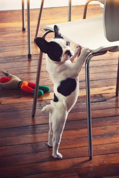 """I'm sooo BIG now!"", adorable French Bulldog Puppy."