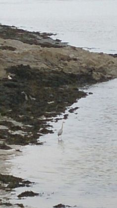 A heron on the Camel Estuary, Cornwall.