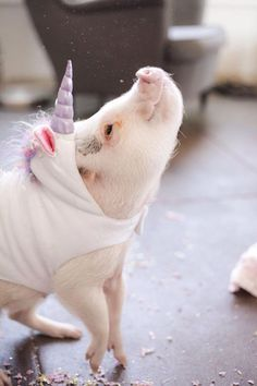 Meet Hamlet the piglet. Hamlet (aka Hammy) is also a unicorn. This Piglet Dressed As A Unicorn Is Making Everyone Cry Rainbows Cute Baby Animals, Animals And Pets, Funny Animals, Super Cute Animals, So Cute Baby, Teacup Pigs, Mini Pigs, Cute Pigs, Tier Fotos