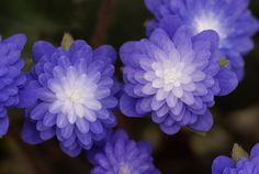 Hepatica japonica 'Seizan' (Seizan Japanese Hepatica) - This is a great evergreen, mat-forming perennial for shady areas.  Evergreen everywhere except northern mountain areas, it blooms in early spring.  There are cultivars with single flowers, and with white or pink blooms as well.