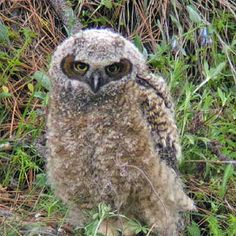Picture of young fledgling great horned owl