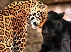 The jaguar, a symbol of life, fertility, divinity and royalty to the ancient Maya; Ex Balam represents the yellow/sun jaguar and the day, and Ex Balanque the black/star jaguar and the night. (The Yucatan Times) Beautiful Cats, Animals Beautiful, Beautiful Images, Big Cats, Cats And Kittens, Animals And Pets, Cute Animals, Baby Animals, Wild Animals