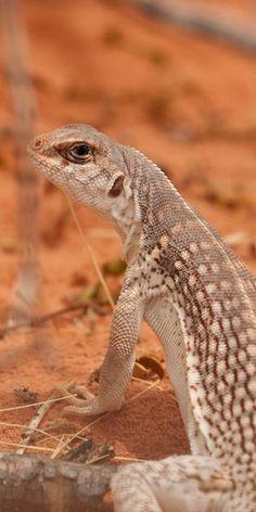http://www.blairsociety.com/Blair/Reptiles/SpeciesAccounts/Dipsosaurus_dorsalis_dorsalis/Square.jpg