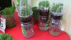 Growing of coniferous plants from seed Voss Bottle, Water Bottle, Trees And Shrubs, Vegetable Garden, Landscape Design, Mason Jars, Glass Vase, Flowers, Gardening
