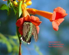 Ruby throated hummingbird goes after nectar or insect