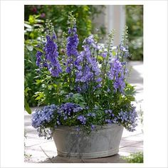 Delphiniums in container.  What a great idea.  I've never had much luck w/ delphiniums in my clay soil.