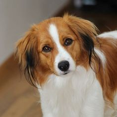 16. Kooikerhondje  Another non-English name sneaking up on you! Fear not, this is yet another name that is easier to say than it looks. Say it with us now: koy-ker-hond.