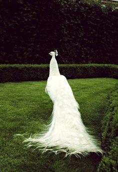 wedding peacockby~ladyysparrow