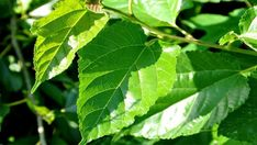 You can dry the fresh mulberry leaves you collected in the spring in the sun without dust. Leave In, Mulberry Leaf, Medicinal Plants, Natural Cures, Home Remedies, Plant Leaves, The Cure, Canning, Health
