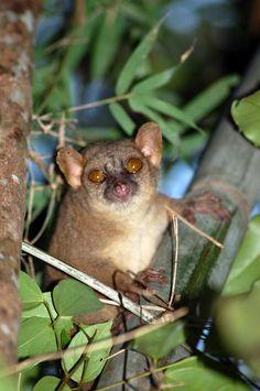 northern giant mouse lemur, Mirza zaza