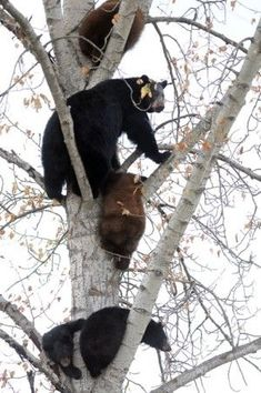 Bears in a Tree- Flathead Valley, Montana by cristina