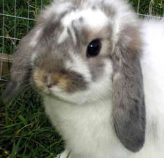 This looks just like the one I want! :) Mini Lop Rabbits
