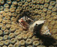 El goby que tan solo alcanza uno a dos centímetros. Este vive generalmente dentro de los corales cerebro y cuerno de alce, o en los pequeños orificios de las esponjas.