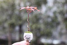 モミジの超ミニ盆栽の画像   超ミニ盆栽のブログ