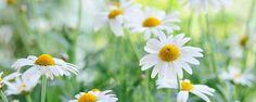 Como cultivar e cuidar de margaridas - Se você gosta de ter um jardim florido o ano inteiro, mas não tem muita experiência com flores, talvez seja hora de você dar uma chance para as margaridas. Além de belas, elas exigem poucos cuidados. Que tal aprender mais sobre como cultivar e cuidar de margaridas? Acompanhe nossas dica... - http://www.ecoadubo.blog.br/ecoblog/2015/11/14/como-cultivar-e-cuidar-de-margaridas/