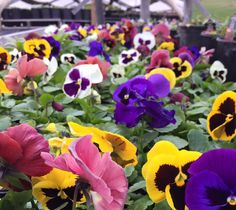 Perfect Pansy's