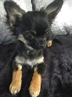 Effective Potty Training Chihuahua Consistency Is Key Ideas. Brilliant Potty Training Chihuahua Consistency Is Key Ideas. Black Chihuahua, Chihuahua Love, Chihuahua Puppies, Cute Puppies, Cute Dogs, Dogs And Puppies, Long Hair Chihuahua, Cockapoo Puppies, Dogs Pitbull