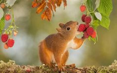 Squirrel tasting berries.
