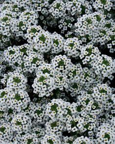 Snow Princess® - Sweet Alyssum - Lobularia hybrid