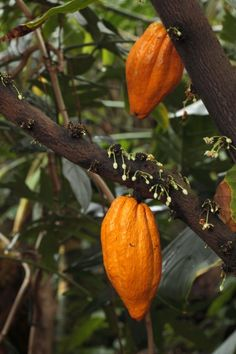 Our cacao tree (the root source of chocolate) has two new pods!