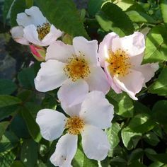 """Die Ramblerrose """"Francis E. Lester"""" ist besonders bekannt durch ihren tollen und starkenDuft, der noch in weiter Entfernung zu riechen ist.Die Blüten des Ramblers """"Francis E. Lester"""" sind sehr zart und ungefüllt. Sie sind weiß und haben einen hellrosa bis dunkelrosa Rand, der aussieht, als würde die Rose leicht erröten (Blush-rosa). In großen Büscheln bedecken Sie den schönen Rosenstrauch. Im Herbst kann man sich an zahllosen orangefarbenen Hagebutten erfreuen. Diese Kletterrose wird bis zu…"""
