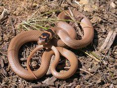 Serpent nain (Eirenis modestus)