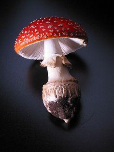 Toadstool mushroom - Amanita Muscaria - Mikest ~