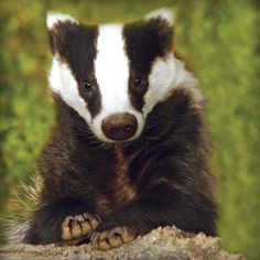 Badger Photographic Blank Greetings Card £1.99