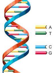 Presenta desoxirribosa y bases  nitrogenadas como adenina, guanina, citocina y timina. Esta constituido por dos cadenas de polinucleotidos unidas entre si x puente hidrogeno. Se encuentra en nucleo y organeos como mitocondria y coroplasto. Su funcion es de almace de informacion hereditaria.
